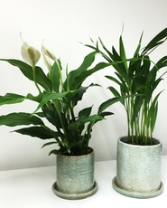 Air purify houseplant