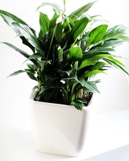 Peace Lily in Lechuza 21