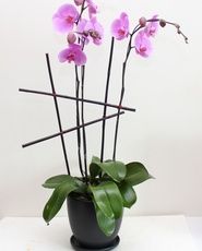 Pink Phalaenopsis Triple Orchids